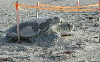 Sea Turtle Nesting Season is underway on our beaches.